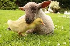 animaux de la ferme animaux de la ferme noms des m 226 les et femelles de leurs
