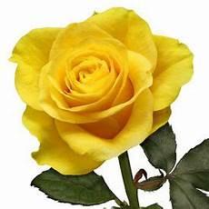Kumpulan Gambar Bunga Mawar Mawar Mawar Kuning