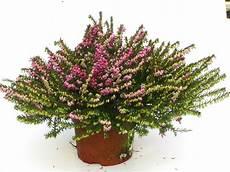 erica darleyensis englische erika versand g 228 rtnerei
