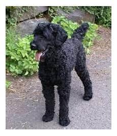 black labradoodle haircuts black labradoodle google search black labradoodle black labradoodle puppy labradoodle