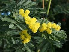 mimose pflanze kaufen mimose gaulois astier acacia dealbata gaulois astier