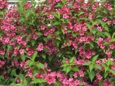arbustes à fleurs rouges haie fleurie de 15 arbustes 224 feuillage caduc