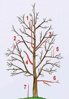 kirschbaum schneiden zeitpunkt obstbaumschnitt baum schneiden obstbaumschnitt und