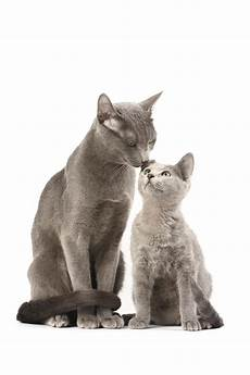 blue cats 8 facts about russian blue cats mental floss