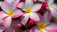 Tropical Flower Wallpaper Hd by Beautiful Hawaiian Flowers Wallpaper Images Wallpapersafari