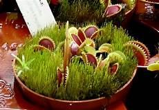 Dionaea Pirania Mikes Hobby