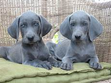 in vendita a cosiero cuccioli di weimaraner cuccioli di weimaraner 171