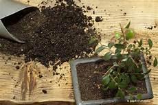 Vertrocknete Pflanzen Retten - vertrocknete pflanzen retten tote pflanzen wieder aufp 228 ppeln