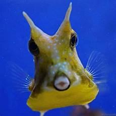 Unterwasser Tiere Malvorlagen Instagram Ein Kuhfisch Aufgenommen Zeeaquariumbergenaanzee