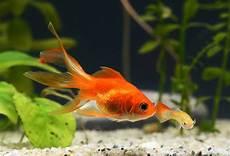 pilzbefall beim goldfisch verpilzung bei fischen