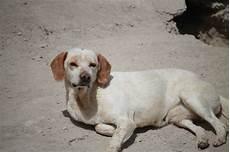 candela chion adoption de candela petit chien bodeguero r 233 gion alsace