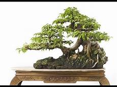 bonsai ficus benjamini ficus benjamina bonsai tree