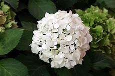 Wie Trocknet Hortensien - hortensie annabelle pflege und schneiden der