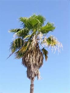 yucca palme zurückschneiden bild 169 creapro