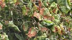 hortensien blätter werden braun trockene braune bl 196 tter nussbaum was ist die ursache