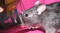 Detruire Les Rats Taupier Sur La