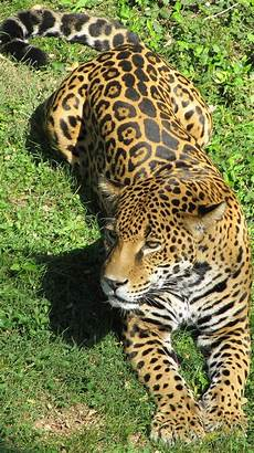 what is a jaguar called amazing facts about a jaguar about animals
