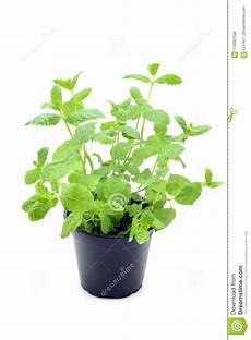 menta in vaso la pianta fresca conservata in vaso della menta pepe