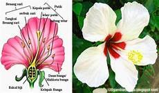 Bunga Sepatu Struktur Gambar Dan Bagian Bagiannya