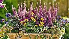 herbstblumen balkon winterhart balkonpflanzen f 252 r sp 228 tsommer herbst pflanzen balkon