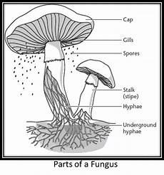 diagram of fungus fungi the sciency fellow