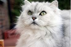 gatti persiani da adottare gatto persiano chinchilla caratteristiche prezzo