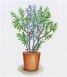 oleander pflege und schnitt oleander schnitt zeichnung msg sabine dubb wohnen und