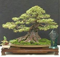 Bonsai Baum Kaufen - buy a bonsai tree what to look for