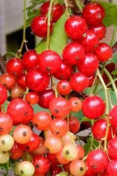 johannisbeeren pflanzen kaufen bcm johannisbeere 187 rolan 171 h 246 he 30 40 cm 2 pflanzen