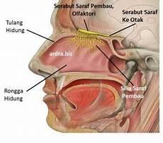 Fungsi Sistem Organ Pernapasan Hidung Paru Paru Manusia
