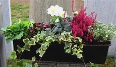 Balkonkasten Herbst Winter - bepflanzter blumenkasten 60 cm wintergr 252 n mit schneerose