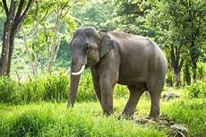 Malvorlage Indischer Elefant Indischer Elefant Malvorlage