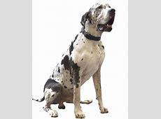 Hondenrassen   Duitse Dog