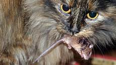 Was Essen Mäuse In Der Natur - geschichte der hauskatze der wildkatze zum