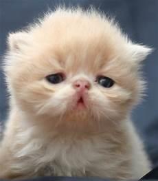 gatti persiani immagini gatti strani di tutto il mondo