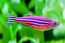 Ikan Zebra Karakteristik Dan Cara Merawatnya Suka Ikan