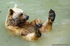 floating in water and of a grizzly