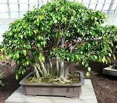 bonsai ficus benjamini birkenfeige i ficus benjamini i bonsai einsteiger