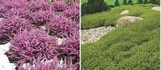 plante couvre sol persistant 10 couvre sols persistants qu il faut avoir dans