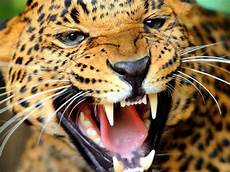 12 most powerful bites in the animal kingdom 4 jaguar 1 350 psi