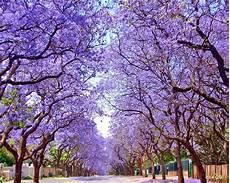 Testclod Le Jacaranda Arbre Aux Fleurs Bleu Violet