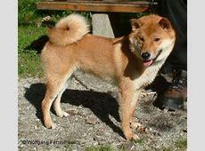 Shiba Inu   Hunderasse S   Hundeseite.de