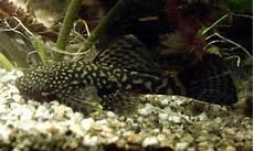 antennenwelse aquarienfische