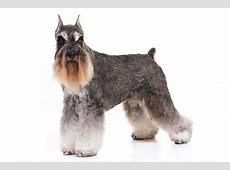 Standard Schnauzer Dog Breed Information