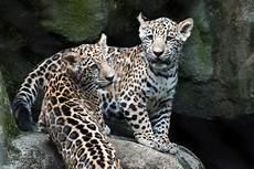 jaguar cubs at houston zoo make debut com