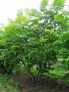 Pterocarya Fraxinifolia Fl 252 Gelnuss Mehrst 228 Mmig Gro 223 Er