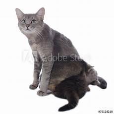 Malvorlage Katze Mit Jungen Quot Katze Mit Jungen Quot Stockfotos Und Lizenzfreie Bilder Auf