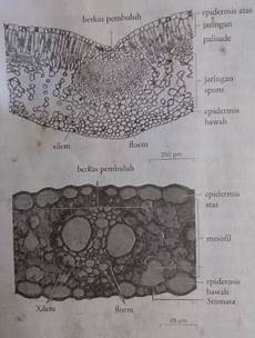 Gambar Struktur Anatomi Daun Monokotil Dan Dikotil