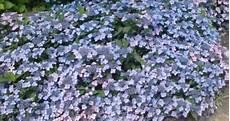 hydrangea serrata koreana koreaanse berghortensia