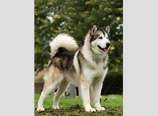 Dog Pictures: Alaskan Malamute Dogs